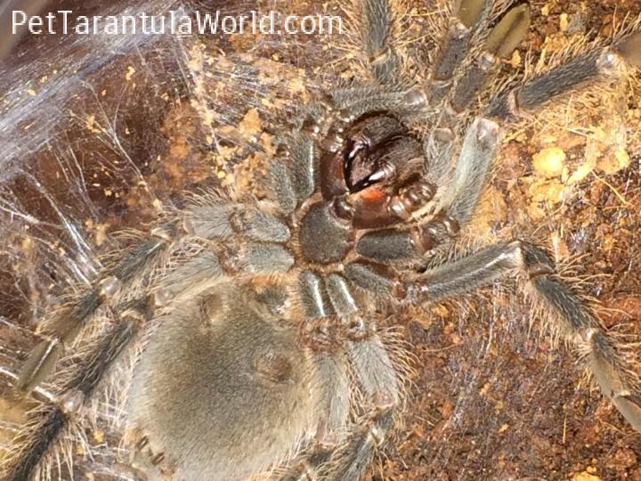 tarantula on its back